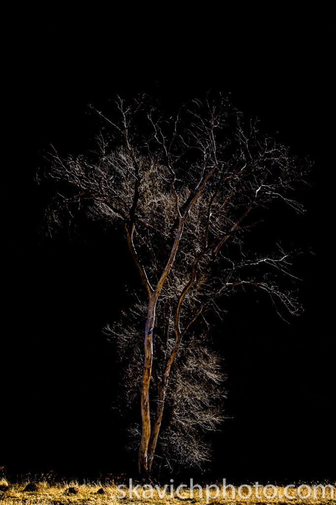 photography print cotton wood tree zion utah